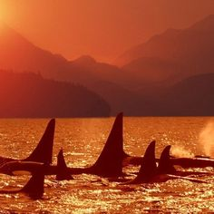 Orca whales at sunset.. I want to go whale watching..
