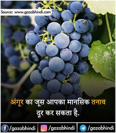 Grapes On A Branch, Gala Variety. Ripe Fruit For Making Wine. Harvest Stock Photo - Image of dessert, outdoors: 141094618 Making Wine At Home, Wine Making, Learn Singing, Singing Tips, Vine Fruit, Wine Names, Home Brewing Beer, Growing Grapes, 100 Calories