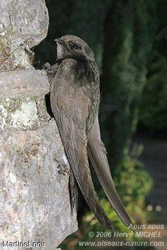 Martinet noir - Apus apus Beautiful Birds, Animals Beautiful, Potoo Bird, Edible Bird's Nest, Scary Birds, Swift Bird, Dove Drawing, Little Birds, Natural Life