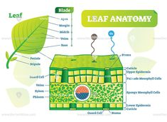 Biological macro scheme poster with leaf inner layers, veins and breathing oxygen exchange. Biology Lessons, Teaching Biology, Science Chemistry, Life Science, Science For Kids, Science And Nature, Biology Poster, Leaf Structure, Leaf Projects