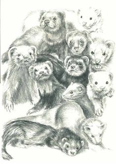 Ferrets business drawing
