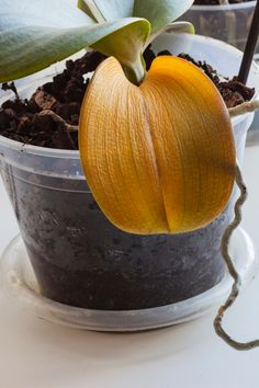Indoor Orchids, Orchids Garden, Garden Plants, Orchid Plant Care, Orchid Plants, Orchid Food, Orchid Leaves Turning Yellow, Yellow Orchid, Orchid Fertilizer