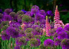 Purple Pink Green Onion Lupine Allium Flowers by MairsPhotography