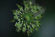 Spooky-Orchid: Green Adder's Mouth - Malaxis unifolia - ©Jen Modliszewski