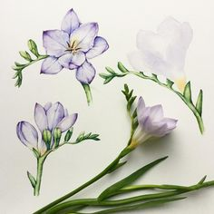 Freesia in progress #botanical #illustration #watercolor #акварель #freesia #flowers