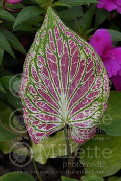 Caladium Thaï Beauty Fleur Feuille Rose Http Www Millettephotomedia