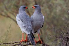 Southern Pale Chanting Goshawh, Melierax canorus, Bleeksingvalk