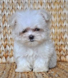 Maltese @ http://allthingssplendid.wordpress.com/2012/01/20/dreamin-of-dogs/