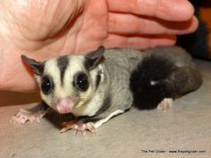 Cody here wants to be your BFFF (best furry friend forever)!  His price makes him a great starting guy for anyone looking to get into owning sugar gliders.