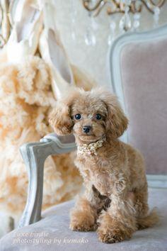 #poodle #tea cup  cuteness!!!