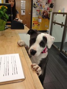The lovely Teresa - lending a puppy paw with paperwork :)