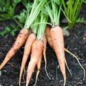 Carrots – Sow seeds in spring about 2 weeks before the last frost date. Carrots need deep, loose soil to form a robust root. Keep the bed weeded to avoid competition for nutrients from other plants. Too much nitrogen will result in forked roots. When the seedlings are about 2-inches tall, thin them so there is about 1 to 4-inches between them. Cover the shoulders with mulch or soil to keep them from turning green and bitter.