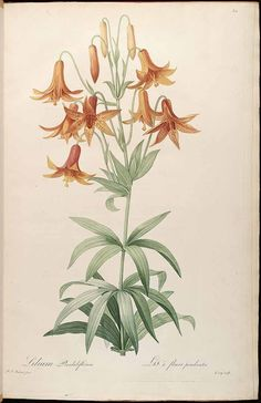 Redouté. Lilium canadense L. http://plantillustrations.org/illustration.php?id_illustration=37954