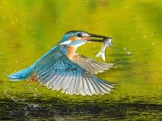 Adult Male Common Kingfisher, Alcedo Atthis, with a Topmouth Gudgeon Fotodruck…