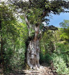Jōmon Sugi est un grand cèdre du japon situé à Yakushima, un site du patrimoine mondial de l'humanité, au Japon. C'est le plus vieil arbre de l'île et son âge est estimé selon les spécialistes entre 2100 et 7200 ans ! Les spécialistes ne sont pas toujours d'accord semble t-il