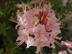 Rhododendron Occidentale.  Native to Northern California.  Remodelista