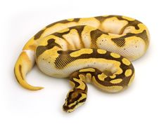Orange Dream Calico Enchi Fire | Markus Jayne Ball Pythons