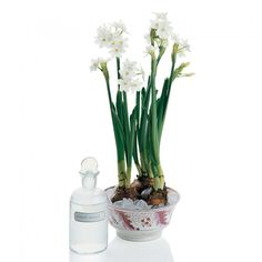How to make Paperwhites stay tall and fresh