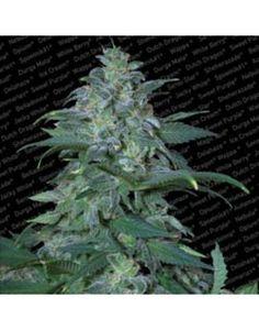 Magic Bud - 10 Regular Seeds