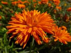 Calendula officinalis, 'Orange Porcupine'