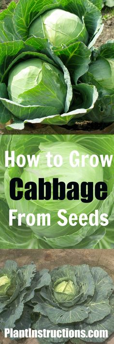 Step-by-step instructions on how to grow cabbage from seeds. GREAT for cold weather climates!
