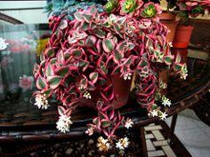 Crassula pellucida marginata variegata