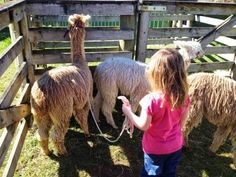Ex-UK city dweller breeds alpacas in NZ: Guide to Halter Training - Stage The Lead-Rope Suri Alpaca, Lead Rope, Alpacas, Stage, Training, City, Fitness Workouts, Cities, Gym