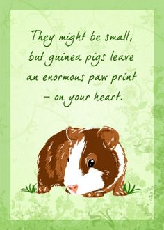 They might be small, but guinea pigs leave an enormous paw print – on your heart.