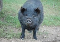 American Guinea Hogs - this farm feeds theirs primarily on grass and hay, with just a bit of supplemental grain