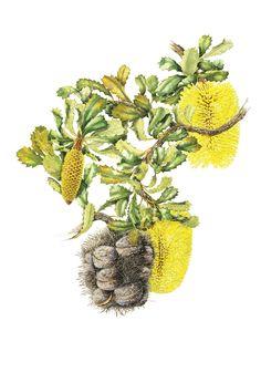 Yellow Lantern Banksia by the wonderful Philippa Nikulinsky Botanical Art, Botanical Illustration, Illustration Art, Australian Wildflowers, Australian Artists, Watercolor And Ink, Art Reproductions, Art World, Fine Art Paper