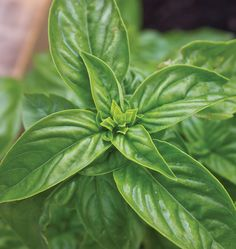 Thai basil, holy basil, each variety has its own characteristics. Follow along with this handy How to Grow Basil from Seed Guide and grow some flavour.!