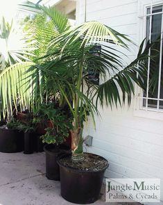 my majesty palm ravenea rivularis in my office it 39 s almost reached the ceiling majesty palms. Black Bedroom Furniture Sets. Home Design Ideas