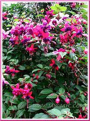 Stunning Fuchsia 'Mrs Popple' in shocking pink and dark purple, growing at the Cactus Valley in Cameron Highlands, Malaysia