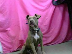 DEVORE,CA. EUTH LIST. 11/07/17. Lainie ID# A683900. 1 yr. old female Pit Bull Terrier. No issue. Time & space. Arrived 10/17/17.