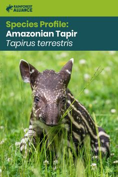 What a cutie! This is a baby Amazonian tapir. Born with stripes and spots for camouflage, its coat will eventually change to dark brown. With their short trunks and large ears, these herbivores have an unusual appearance, but they can grow up to 600 pounds, making them the largest terrestrial mammals in the Amazon. Click to learn more! Animals Images, Animal Pictures, Primates, Mammals, Screened Canopy, Deck Shade, Diy Awning, How To Shade, Rainforest Animals