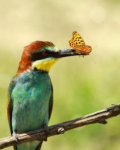 European bee-eater | European Bee-eater | Feathers and Wings | Pinterest