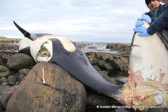 """After a necropsy, experts with the Scottish Marine Animal Strandings Scheme said that Lulu had been """"chronically entangled"""" in abandoned fishing gear for several"""