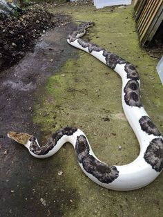 Piebald ball python... beautiful! <-- This is NOT a Piebald ball python. Learn your snakes before misinforming people.