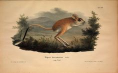 Jerboa,Presentation of new or little-known animals illustrations and descriptions: of five and sixty species on fifty colorirten stone pressure plates after the originals of the Zoological Museum of the University of Berlin 1827