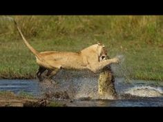 Lion Pride vs Crocodile, Crocodile defeats Lion Pride