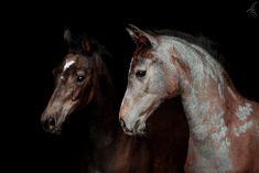 2 Fohlen vor schwarzem Hintergrund Animal Drawings, Drawing Ideas, Handsome, Horses, Animals, Beautiful, Black, Pictures, Mongrel