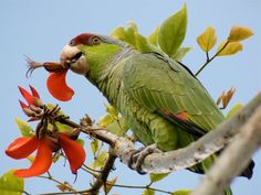 A wild parrot gets a belly full of delicious flora. The parrot populations have returned to the beach communities.                      Courtesy photo by Karen Straus, Audubon Society