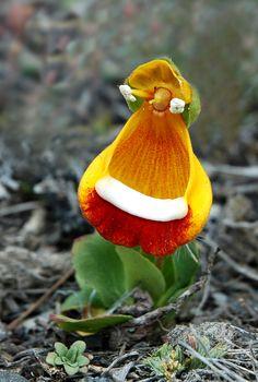 Zapatito de la virgen (calceolaria uniflora) - Originaria de Tierra del Fuego, Patagónia Argentina / por Robert Dalaudiere