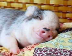 cute little piggy!!! I just want to hold him/her while he/she sleeps!