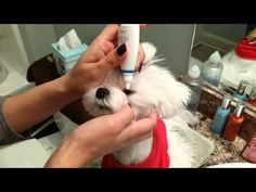 Taking care of tear stains on a Maltese.