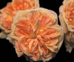 Alchemist Rose - gorgeous apricot flowers! Climbs to 20', fragrant (reminiscent of green apples) and shade tolerant. Blooms once.