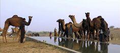 La modernidad deja a atrás a los camellos en la India