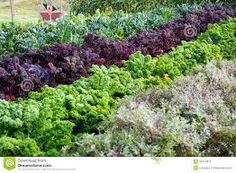 Image result for purple kale growing