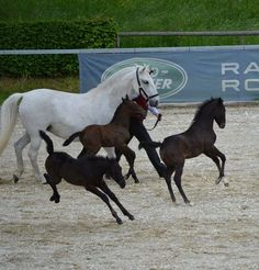Lipizzaners.  They are really grey horses; the babies are born black and whiten as they mature