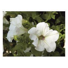 Petunia Surfinia White Petunia Surfinia, Plantation, Cher, Plants, Annual Plants, Replant, Plant, Planets